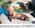 库页冷杉 北海狮 动物 22398653