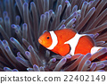fish, fishes, Ocellaris Clownfish 22402149