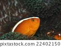 小丑鱼 鱼 咸水鱼 22402150