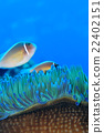 小丑魚 熱帶魚 海魚 22402151