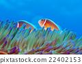 小丑魚 熱帶魚 海魚 22402153