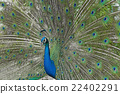peacock with feathers out 22402291