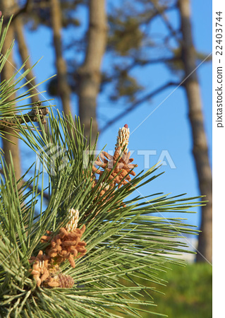 Pine tree pollen - Stock Photo [22403744] - PIXTA