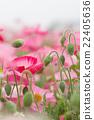 poppy, bloom, blossom 22405636