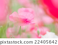 poppy, bloom, blossom 22405642