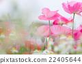 poppy, bloom, blossom 22405644