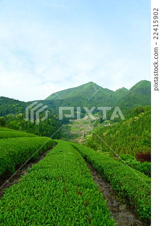 水稻梯田和茶園 22415902