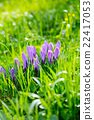 crocus, grass, purple 22417053
