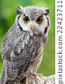 貓頭鷹 禽 鳥兒 22423711