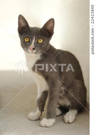 Gray cat cute pets. 22423840