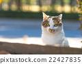 猫 杂色猫 哺乳动物 22427835