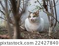 猫 杂色猫 哺乳动物 22427840