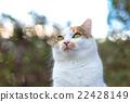猫 杂色猫 哺乳动物 22428149