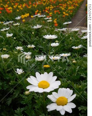 꽃밭, 봄, 마가렛 22437251