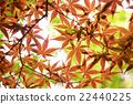 잎, 식물, 단풍 22440225