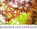 잎, 식물, 단풍 22440226