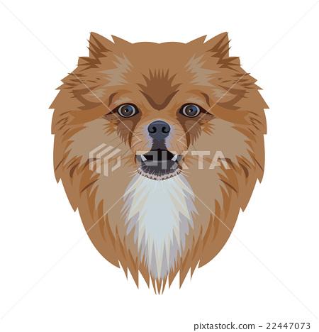 Portrait of pomeranian dog isolated on white 22447073