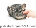 Cute chinchilla isolated over white background 22448547