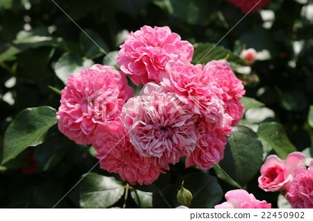 Rose / Pink Suwanee 22450902