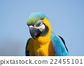 blue, head, macaw 22455101