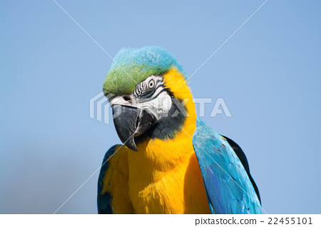 Blue-and-Yellow Macaw (Ara ararauna) 22455101