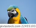 blue, head, macaw 22455103