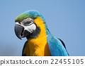 blue, head, macaw 22455105