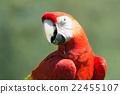 scarlet, macaw, portrait 22455107