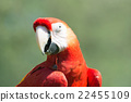 scarlet, macaw, portrait 22455109