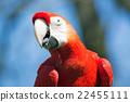 scarlet, macaw, portrait 22455111
