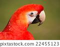 scarlet, macaw, portrait 22455123