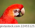 scarlet, macaw, portrait 22455125
