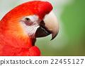 scarlet, macaw, portrait 22455127