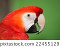 scarlet, macaw, head 22455129