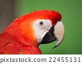 scarlet, macaw, head 22455131