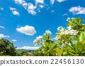 White plumeria with blue sky background 22456130