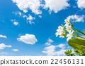 White plumeria with blue sky background 22456131