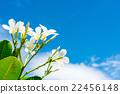White plumeria with blue sky background 22456148