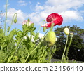 White clouds and red poppy flowers in the blue sky 22456440