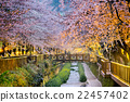 cherry blossoms sakura 22457402