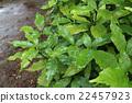 樹葉 綠色 下雨 22457923