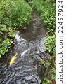 小溪 鯉魚 黃金 22457924