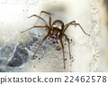 spider in the Liocranidae family on web 22462578