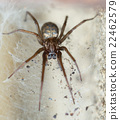 spider in the Liocranidae family on web 22462579