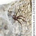 spider in the Liocranidae family on web 22462580