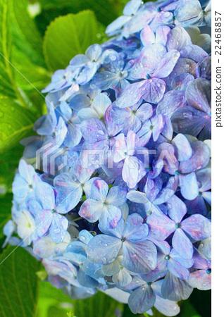 Hydrangea of hydrangea 22468857