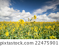 canola seed flower field and blue sky 22475901