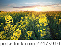 canola flower field at sundown 22475910