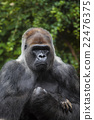 Portrait of big, black gorilla 22476375
