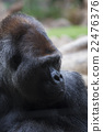 Portrait of big, black gorilla 22476376